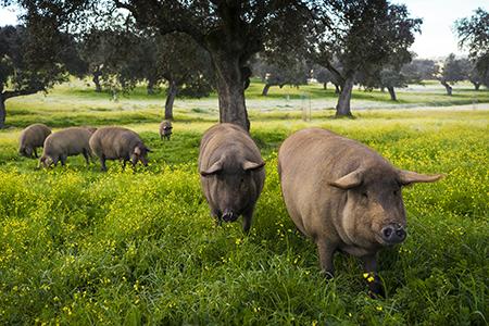 Dehesa de Extremadura: cuna del cerdo ibérico de bellota