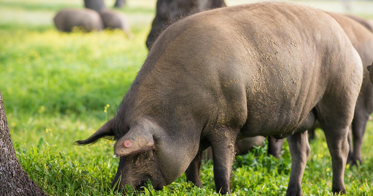 Ganado porcino libre de antibióticos