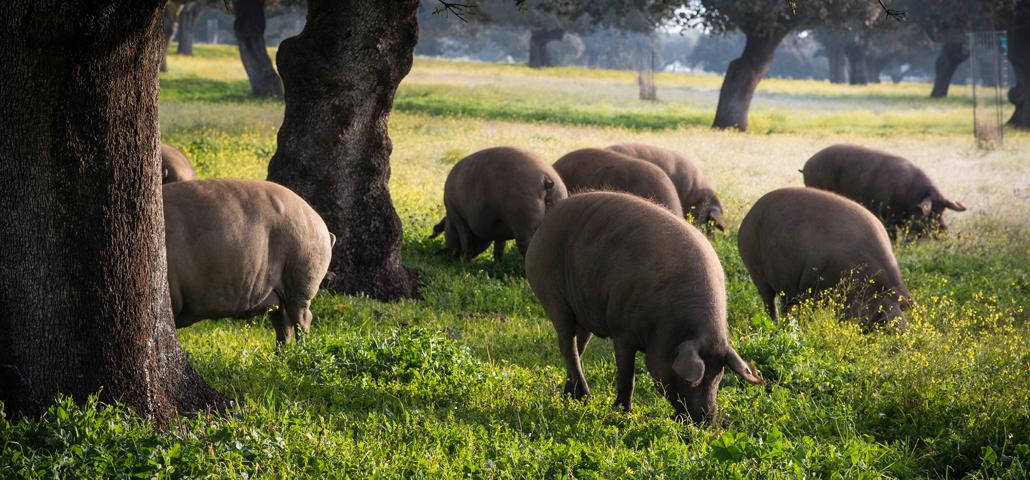 La Montanera en la cría del cerdo ibérico de bellota