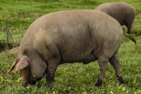 jamón, jamón ibérico, cerdo ibérico, comprar jamón, recetas, cocina, gastronomía
