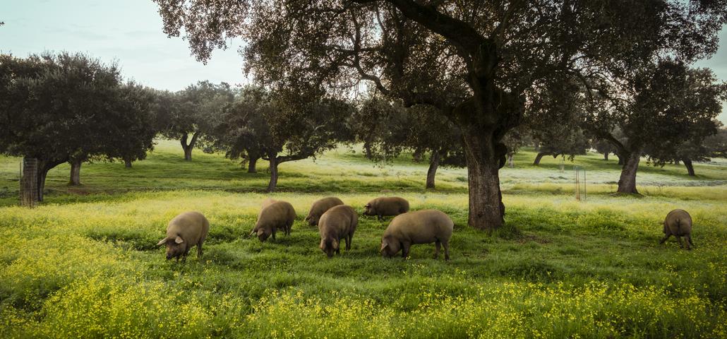 El cerdo ibérico: origen de la raza y estirpes